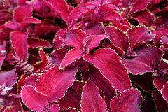 Beautiful and bright flowers of the Coleus Stock Image