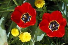 Beautiful bright flowers of tulips Stock Photos