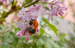 Beautiful bright fluffy bumblebee sitting on the flowers of pink lilac. Fragrant spring. Flowering lilac bushes in the city Royalty Free Stock Photo