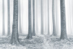 Beautiful bright forest with fog royalty free stock photo