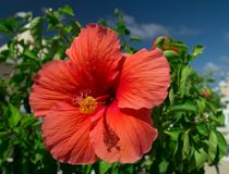 A beautiful, bright, gorgeous large red hibiscus in flower. In a natural tropical environment royalty free stock photos
