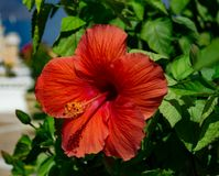 A beautiful, bright, gorgeous large red hibiscus in flower. In a natural tropical environment stock photo