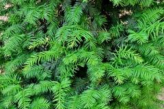 Beautiful bright green christmas tree closeup royalty free stock image