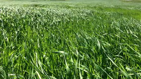 The beautiful bright green grass waves from a wind stock footage
