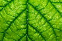 Green leaf with veins and water drops. Beautiful bright green leaf pattern with veins and water drops Royalty Free Stock Image