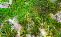 Free Beautiful Bright Green Moss Grown Up Cover The Rough Stones And On The Floor In The Forest. Show With Macro View. Rocks Full Of Royalty Free Stock Photos - 159700948