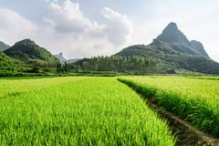 Beautiful bright green rice fields and scenic karst mountains stock images