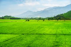 Beautiful bright green rice fields in summer stock photo