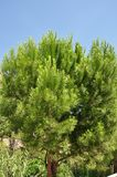 Beautiful bright green tree pine Stock Photography