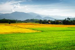 Beautiful colorful rice fields at different stages of maturity. Beautiful bright green, yellow and orange rice fields at different stages of maturity. Various royalty free stock image