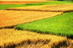 Scenic rice fields at different stages of maturity. Beautiful bright green, yellow and orange rice fields at different stages of maturity. Various phases of rice royalty free stock photos