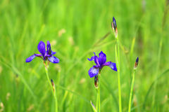Beautiful bright irises Stock Image