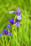 Beautiful bright irises Royalty Free Stock Photo