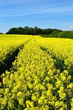 Beautiful bright landscape. A field of flowering rapeseed in the heart of the Dorset countryside Royalty Free Stock Photos