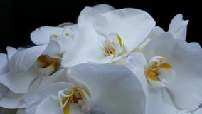 Beautiful bright large white orchids on a black background. Delicate flower petals swaying in the wind. Bridal bouquet, wedding