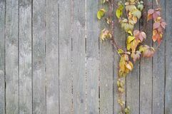 Beautiful bright leaves on a gray wooden background-fence stock image