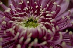 Beautiful bright lilac asra, macro. Red beautiful terry aster, macro stock photos