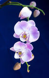 Beautiful bright lilac orchids Royalty Free Stock Photography