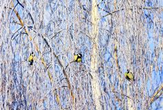Three beautiful bright little birds of a tit sit on birch branches covered with fluffy white frost in a winter park