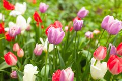 Beautiful bright multicoloured tulips in flowerbed in park or garden after rain. Rain droplets glisten on flowers. Cute wallpaper stock image