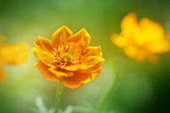 Beautiful bright orange flower in the forest Royalty Free Stock Photo