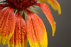 Beautiful bright orange flower in macro Stock Photo