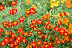 Beautiful bright orange flowers on a flower bed. Yellow stamens. Many flowers with small green leaves. City park. Parterre. Blurred background Stock Images