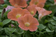 Beautiful bright Orange petunia flowers. Petunias are a popular flowering plant typically seen in hanging baskets or cascading from window boxes containers and Stock Photography