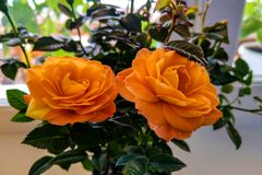 Beautiful bright orange rose buds, spring, summer, beauty stock photography