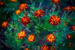 Beautiful bright orange Tagetes patula or French marigold flowers. Growing in the garden. Summer nature in bloom stock photography
