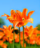 Beautiful bright orange tulips and blury blue sky. Spring floral background. Stock Photo