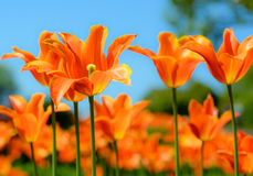 Beautiful bright orange tulips and blury blue sky. Spring floral background. Royalty Free Stock Image