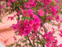 Beautiful bright pink bougainvillea flowers Stock Photography