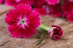 Beautiful bright pink carnation close-up on wooden Stock Photo