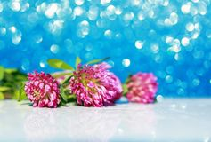 bright pink clover flowers on festive shiny blue background stock photography