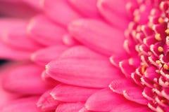 Beautiful bright pink gerbera Royalty Free Stock Images