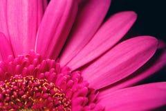 Beautiful bright pink gerbera Royalty Free Stock Photo
