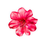Beautiful bright pink red Flower. Isolated on Royalty Free Stock Photo