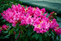 Beautiful bright pink rhododendron flowers royalty free stock photography
