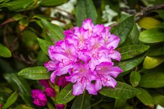 Beautiful bright pink rhododendron flowers. Growing in the garden. Spring blooming nature royalty free stock photography