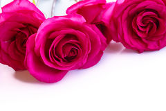 Beautiful bright pink roses Stock Photography
