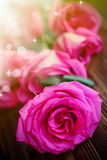 Beautiful bright pink roses Stock Photos