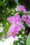 Beautiful bright purple flowers, Lagerstroemia aka. Queen of fl. Ower beautiful royalty free stock images