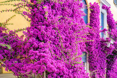 Beautiful bright purple flowers on a yellow building Stock Photos