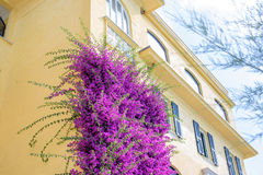Beautiful bright purple flowers on a yellow building Stock Photography