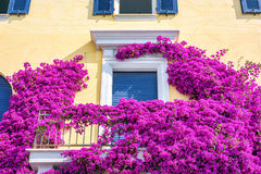 Beautiful bright purple flowers on a yellow building Royalty Free Stock Photography