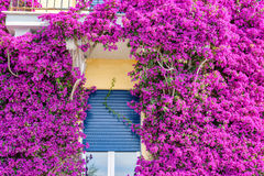 Beautiful bright purple flowers on a yellow building Stock Image