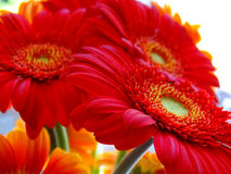 Beautiful bright red flowers up close Royalty Free Stock Image