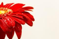 Beautiful bright red gerber in macro Stock Photography
