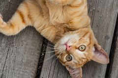 A beautiful bright red kitten with yellow eyes and pink nose on an old gray wooden boards background in a summer garden stock image